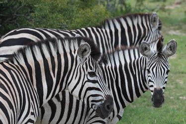 A herd of zebra striped,stripes,herbivores,herbivore,vertebrate,mammal,mammals,terrestrial,Africa,African,savanna,savannah,safari,zebra,wild horse,horse,horses,equid,equine,zebras,herd,dazzle,line,Plains zebra,Equus