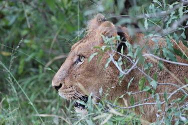 Lioness stalking from the cover of foliage cat,cats,feline,felidae,predator,carnivore,big cat,big cats,lions,apex,vertebrate,mammal,mammals,terrestrial,Africa,African,savanna,savannah,safari,profile,face,lioness,female,hunter,huntress,hunting,