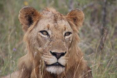 A young male lion already baring facial scars cat,cats,feline,felidae,predator,carnivore,big cat,big cats,lions,apex,vertebrate,mammal,mammals,terrestrial,Africa,African,savanna,savannah,safari,face,portrait,male,immature,teenager,mane,Lion,Panth