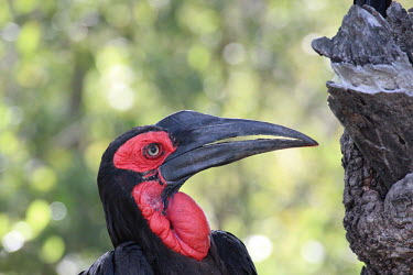 Southern ground-hornbill showing its bright red throat bird,birds,bill,hornbill,throat,red,ugly,handsome,face,shallow focus,green background,skin,Southern ground-hornbill,Bucorvus leadbeateri,Coraciiformes,Rollers Kingfishers and Allies,Aves,Birds,Bucorvi