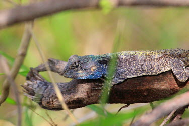 Starred agama on a piece of dead wood lizard,lizards,reptile,reptiles,scales,scaly,reptilia,lizards and snakes,terrestrial,cold blooded,agama,blue,spiny,spikey,close up,colourful,shallow focus,Starred agama,Laudakia stellio,Chordates,Chor