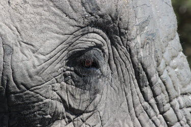 Close up of an African elephant eye mastodon,mastodons,mammoth,mammoths,elephant,elephants,trunk,trunks,herbivores,herbivore,vertebrate,mammal,mammals,terrestrial,Africa,African,savanna,savannah,safari,eye,eyes,face,close up,skin,Africa