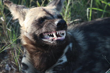 An African wild dog snarling as a sign of warning carnivore,vertebrate,mammal,mammals,terrestrial,Africa,African,savanna,savannah,safari,wild dog,hunting dog,African dog,African hunting dog,canine,canis,face,teeth,jaw,canines,snarl,angry,defence,warn