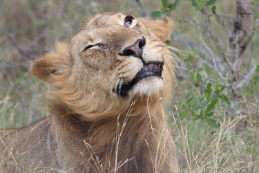 Close up of an adolescent male lion shaking away the flies cat,cats,feline,felidae,predator,carnivore,big cat,big cats,lions,apex,vertebrate,mammal,mammals,terrestrial,Africa,African,savanna,savannah,safari,face,portrait,male,immature,teenager,mane,Lion,Panth