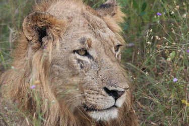 Close up of an adolescent male lion cat,cats,feline,felidae,predator,carnivore,big cat,big cats,lions,apex,vertebrate,mammal,mammals,terrestrial,Africa,African,savanna,savannah,safari,face,portrait,male,immature,teenager,mane,Lion,Panth