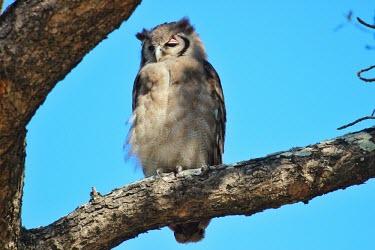 Giant eagle-owl eagle owl,giant eagle owl,Africa,bird of prey,birds of prey,predator,talons,carnivore,hunter,tree,Strigidae,Tytonidae,owl,owls,snooze,asleep,nap,sleepy,Giant eagle-owl,Bubo lacteus,Verreaux's eagle-ow