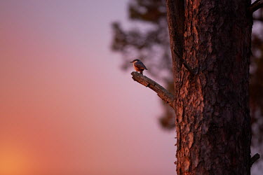 A nuthatch perching on a branch at sunrise Eurasian nuthatch,Animalia,Chordata,Aves,Passeriformes,Sittidae,Sitta,Sitta europaea,perch,perched,perching,sitting,nuthatch,European,bird,birds,sunrise,dawn,sky,pink,pretty,tree,negative space,bird i
