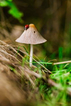 A seven-spot ladbird on top of a fungus insect,insects,invertebrate,invertebrates,red,spots,spotty,spotted,pattern,beetle,beetles,macro,close up,shallow focus,mushroom,fungus,fungii,woodland,forest,undergrowth,grass,Seven-spot ladybird,Cocc