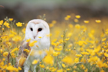 A barn owl standing on the ground among buttercups owl,owls,bird of prey,birds of prey,predator,carnivore,hunter,bill,eyes,face,portrait,creeping buttercup,buttercup,field,wildflowers,flowers,yellow,shallow focus,pretty,Barn owl,Tyto alba,Chordates,Ch
