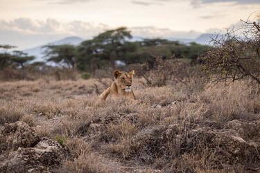 A lioness resting by bushes in the savanna cat,cats,feline,felidae,predator,carnivore,big cat,big cats,lions,apex,vertebrate,mammal,mammals,terrestrial,Africa,African,savanna,savannah,safari,lioness,female,resting,landscape,scenery,grass,atmos