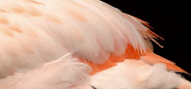 Plumage of a Chilean flamingo flamingo,flamingos,pink,feathers,feather,bird,birds,birdlife,avian,aves,plumage,colour,colours,peach,Chile,South America,Americas,Chilean flamingo,Phoenicopterus chilensis,Aves,Birds,Chordates,Chordat