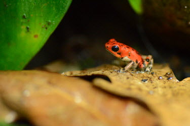 Close up of a strawberry poison frog on leaf strawberry frog,poison frog,frog,frogs,semi-aquatic,amphibia,amphibian,amphibians,amphibious,permeable,porous,skin,pigment,macro,close up,shallow focus,poison,poisonous,toxic,eye,eyes,black eyes,rainf