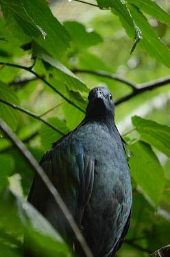 Nicobar pigeon perching in a tree pigeon,pigeons,bird,birds,birdlife,avian,aves,plumage,green,emerald,shallow focus,negative space,rainforest,forest,forests,perch,perched,perching,sitting,tropics,tropic,tropical,Nicobar pigeon,Caloena
