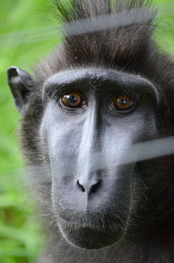 Close up of a crested black macaque's face. Celebes black macaque,Celebes crested macaque,Celebes macaque,Sulawesi macaque,green background,face,close up,eyes,eye,nose,hair,monkey,monkeys,old world monkeys,sad,macaques,Crested black macaque,Mac