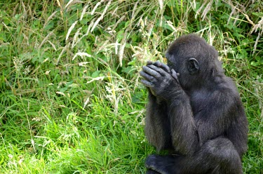 A western lowland gorilla sitting in the tall grass clasping its hands Western lowland gorilla,Gorilla gorilla gorilla,gorilla,ape,great ape,apes,great apes,Africa,forest,forests,rainforest,terrestrial,grass,hands,hominidae,hominids,hominid,negative space,green backgroun