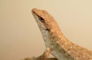 Close up of a round island skink skink,island skink,reptile,reptiles,scales,scaly,reptilia,lizards and snakes,terrestrial,cold blooded,brown,smooth,close up,macro,negative space,shallow focus,relax,relaxed,sunbathe,sunbathing,basking