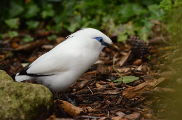 A Bali starling picking through bark on the forest floor starling,Bali,Asia,South East Asia,Indonesia,bird,birds,birdlife,avian,aves,plumage,white,blue,eyes,blue eyes,rainforest,forest,forests,crest,crested,forage,foraging,Bali starling,Leucopsar rothschild