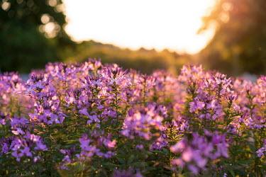 Purple wildflowers in warm sunlight plant,plants,flora,vegetation,foliage,greenery,flower,flowers,wildflower,wildflowers,petals,sunlight,warm,spring,summer,purple,field,meadow,weed,flowering,pretty,sun