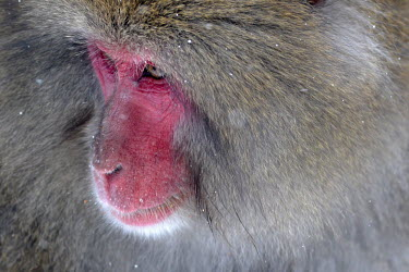 Close up portrait of a Japanese macaque monkey,monkeys,primate,primates,arboreal,mammal,mammals,vertebrate,vertebrates,fur,furry,face,pink,snow,winter,winter coat,eyes,portrait,Japanese macaque,macaques,snow monkeys,Macaca fuscata,Mammalia,