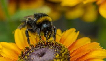 Bumble bee gathering pollen from a flower, calendula spp. bumblebee,bee,bees,bumblebees,insect,insects,invertebrate,invertebrates,nectar,flower,flowers,pollen,pollinator,striped,stripy,buff tailed bumblebee,yellow,macro,close up,Calendula,pollination,Buff-ta