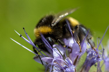 Bumble bee gathering pollen from a flower bumblebee,bee,bees,bumblebees,insect,insects,invertebrate,invertebrates,nectar,flower,flowers,pollen,pollinator,striped,stripy,buff tailed bumblebee,purple,macro,close up,shallow focus,green backgroun