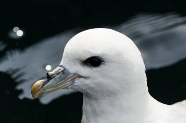 Close up portrait of a fulmar Northern Fulmar,Fulmar,Animalia,Chordata,Aves,Procellariiformes,Procellariidae,Fulmarus glacialis,seabird,sea bird,seabirds,sea birds,coast,coastal,coastline,white,bill,face,close up,shallow focus,por