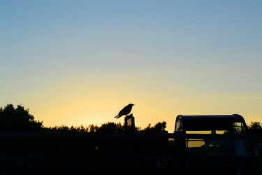The silhouette of a carrion crow at dusk crow,silhouette,sunset,bird,birds,perched,perch,sky,dusk,evening,Carrion crow,Corvus corone,Birds,Corvus corone corone,Crows, Ravens, Jays,Corvidae,Chordates,Chordata,Perching Birds,Passeriformes,Aves