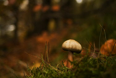 A mushroom growing among moss fungus,fungi,funguses,eukaryotic,close up,macro,shallow focus,woodland,woods,forest,undergrowth,mushrooms,mushroom,Autumn,Fungi