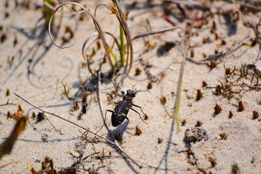 A black tiger beetle crossing sand insect,insects,invertebrate,invertebrates,beetle,beetles,sand,hot,dry,arid,Heath tiger beetle,Cicindela sylvatica,Insects,Insecta,Carabidae,Ground Beetles,Arthropoda,Arthropods,Coleoptera,Beetles,Anim
