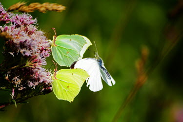 A large white and two brimstone butterflies feeding on a flower butterfly,butterflies,insect,insects,invertebrate,invertebrates,antenna,antennae,pretty,green,macro,close up,shallow focus,feeding,proboscis,tongue,nectar,pollen,large white,Pieris brassicae,flower,Br