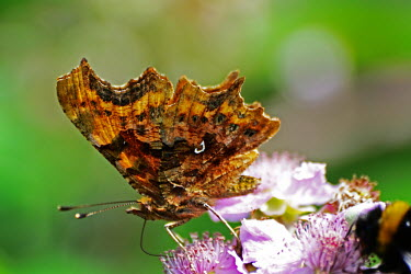 A comma butterfly feeding next to a bee in the foreground butterfly,butterflies,insect,insects,invertebrate,invertebrates,antenna,antennae,macro,close up,shallow focus,flower,feeding,pollen,underwing,Comma,Polygonia c-album,Insects,Insecta,Nymphalidae,Brush-