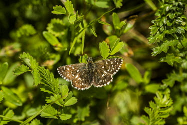 A grizzled skipper butterfly resting on a shrub Animalia,Arthropoda,Insecta,Lepidoptera,Hesperiidae,Pyrgus,P. malvae,butterfly,butterflies,insect,insects,invertebrate,invertebrates,antenna,antennae,Grizzled skipper,macro,close up,shallow focus,Pyrg