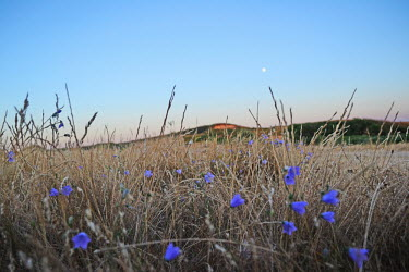 An evening landscape shot, the moon above a field filled with harebell Plantae,Asterales,Campanulaceae,Campanula,Campanula rotundifolia,field,moon,moonlight,dusk,evening,sky,grass,grassland,meadow,wildflower,wildflowers,hay,hills,shallow focus,atmosphere,flower,flowers,p