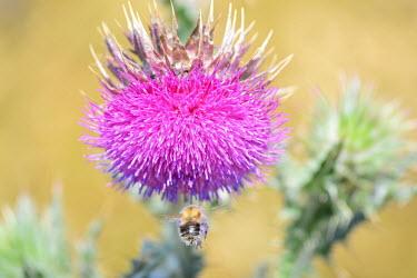 A bumble bee mid flight, approaching a thistle Animalia,Arthropoda,Insecta,Hymenoptera,Apidae,Bombus,bumblebee,bee,bees,bumblebees,insect,insects,invertebrate,invertebrates,nectar,flower,flowers,pollen,pollinator,macro,close up,shallow focus,thist