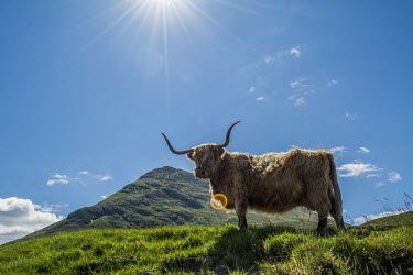 A highland cow standing in a field, sun beaming down Animalia,Chordata,Mammalia,Artiodactyla,Bovidae,Bos,Bos taurus,herbivores,herbivore,vertebrate,mammal,mammals,terrestrial,cattle,ungulate,bovine,highland cattle,highland cow,cow,horns horned,highlands