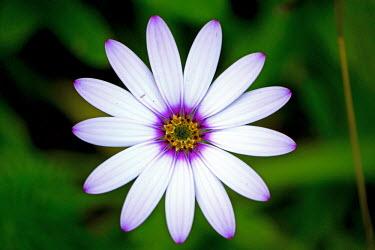 Cape daisy flower Cape daisy,African daisy,Plantae,Asterales,Asteraceae,Asteroideae,Calenduleae,Osteospermum,daisy,flower,flowers,plant,plants,green background,shallow focus,white,purple,petal,petals,pollen,stamen,spri