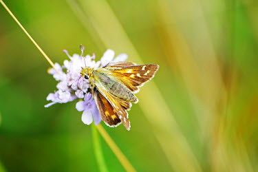 Silver-spotted skipper on a flower butterfly,butterflies,insect,insects,invertebrate,invertebrates,antenna,antennae,macro,close up,shallow focus,flower,pretty,Silver-spotted skipper,Hesperia comma,Insects,Silver spotted skipper,Arthrop