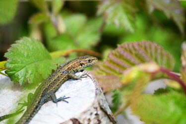 A common or viviparous lizard resting on a tree stump lizard,lizards,reptile,reptiles,scales,scaly,reptilia,lizards and snakes,terrestrial,cold blooded,common lizard,macro,close up,shallow focus,leaf,foliage,tree stump,Viviparous lizard,Zootoca vivipara,