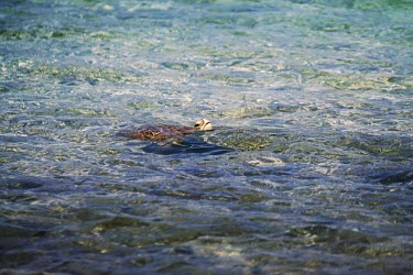 A green turtle surfacing for air sea turtle,sea turtles,turtle,turtles,shell,reptile,reptiles,green turtle,breath,air,breathing,face,water,surface,sea,ocean,Green turtle,Chelonia mydas,Chordates,Chordata,Reptilia,Reptiles,Turtles,Tes