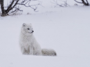 An Arctic fox in its white winter fur coat sitting in the snow mammal,mammals,vertebrate,vertebrates,terrestrial,fur,furry,canidae,predator,scavenger,hunter,fox,foxes,Arctic foxes,winter,snow,snowy,cold,freezing,adaptation,pelt,coat,cute,fluffy,white,camouflage,p