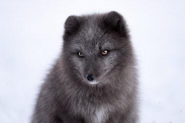 Portrait of an Arctic fox mammal,mammals,vertebrate,vertebrates,terrestrial,fur,furry,canidae,predator,scavenger,hunter,fox,foxes,Arctic foxes,winter,snow,snowy,cold,freezing,adaptation,pelt,coat,cute,fluffy,face,portrait,eyes