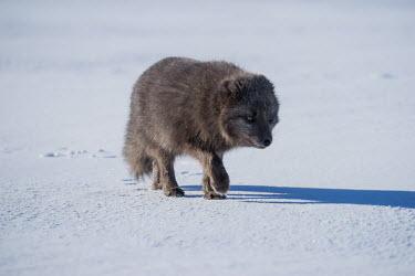 An Arctic fox treading lightly across snow mammal,mammals,vertebrate,vertebrates,terrestrial,fur,furry,canidae,predator,scavenger,hunter,fox,foxes,Arctic foxes,winter,snow,snowy,cold,freezing,adaptation,pelt,coat,cute,fluffy,paws,paw,tread,wal