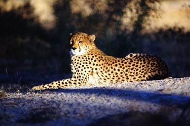 A cheetah laying in partial shade cheetah,cheetahs,cat,cats,feline,felidae,predator,carnivore,big cat,big cats,vertebrate,mammal,mammals,terrestrial,Africa,African,savanna,savannah,safari,spots,spotted,spotty,pattern,patterned,relaxed