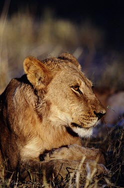 Portrait of a lioness cat,cats,feline,felidae,predator,carnivore,big cat,big cats,lions,apex,vertebrate,mammal,mammals,terrestrial,Africa,African,savanna,savannah,safari,face,portrait,lioness,female,Lion,Panthera leo,Afric
