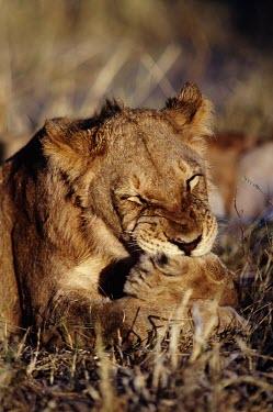 Lioness cleaning her paws cat,cats,feline,felidae,predator,carnivore,big cat,big cats,lions,apex,vertebrate,mammal,mammals,terrestrial,Africa,African,savanna,savannah,safari,cleaning,paws,paw,lioness,female,Lion,Panthera leo,A