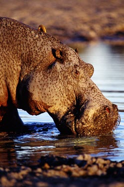 A hippopotamus out of water, taking a drink hippo,hippos,herbivores,herbivore,vertebrate,mammal,mammals,terrestrial,Africa,African,savanna,savannah,safari,semi-aquatic,amphibious mammal,amphibious,drinking,waterhole,rough,thirsty,drink,thirst,H