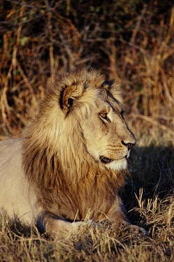 Portrait of a male lion cat,cats,feline,felidae,predator,carnivore,big cat,big cats,lions,apex,vertebrate,mammal,mammals,terrestrial,Africa,African,savanna,savannah,safari,face,portrait,mane,male,Lion,Panthera leo,African li