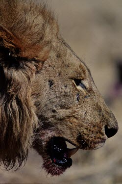 A male lion with a blood soaked jaw from eating a kill cat,cats,feline,felidae,predator,carnivore,big cat,big cats,lions,apex,vertebrate,mammal,mammals,terrestrial,Africa,African,savanna,savannah,safari,mane,male,face,teeth,jaw,mouth,snout,blood,kill,hunt