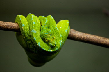 An emerald tree boa draped over a branch snake,snakes,reptile,reptiles,scales,scaly,reptilia,terrestrial,cold blooded,pigment,green,blue,colour,colourful,eyes,hanging,coiled,coil,branch,arboreal,jungle,tropical,Emerald tree boa,tree boa,boa,