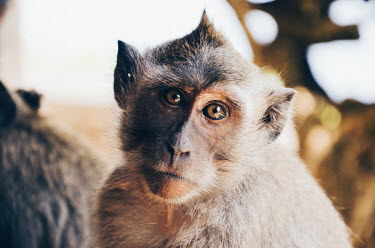 Portrait of a crab-eating macaque monkey,monkeys,primate,primates,mammal,mammals,vertebrate,vertebrates,macaque,portrait,looking at camera,shallow focus,mohican,hair,eyes,emotion,macaques,Crab-eating macaque,Macaca fascicularis,Mammal